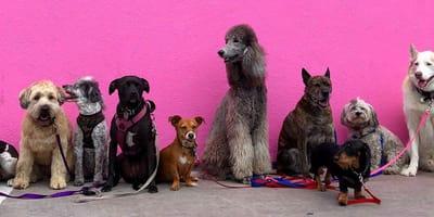 Haz el test: ¿Qué raza de perro es mejor para ti?